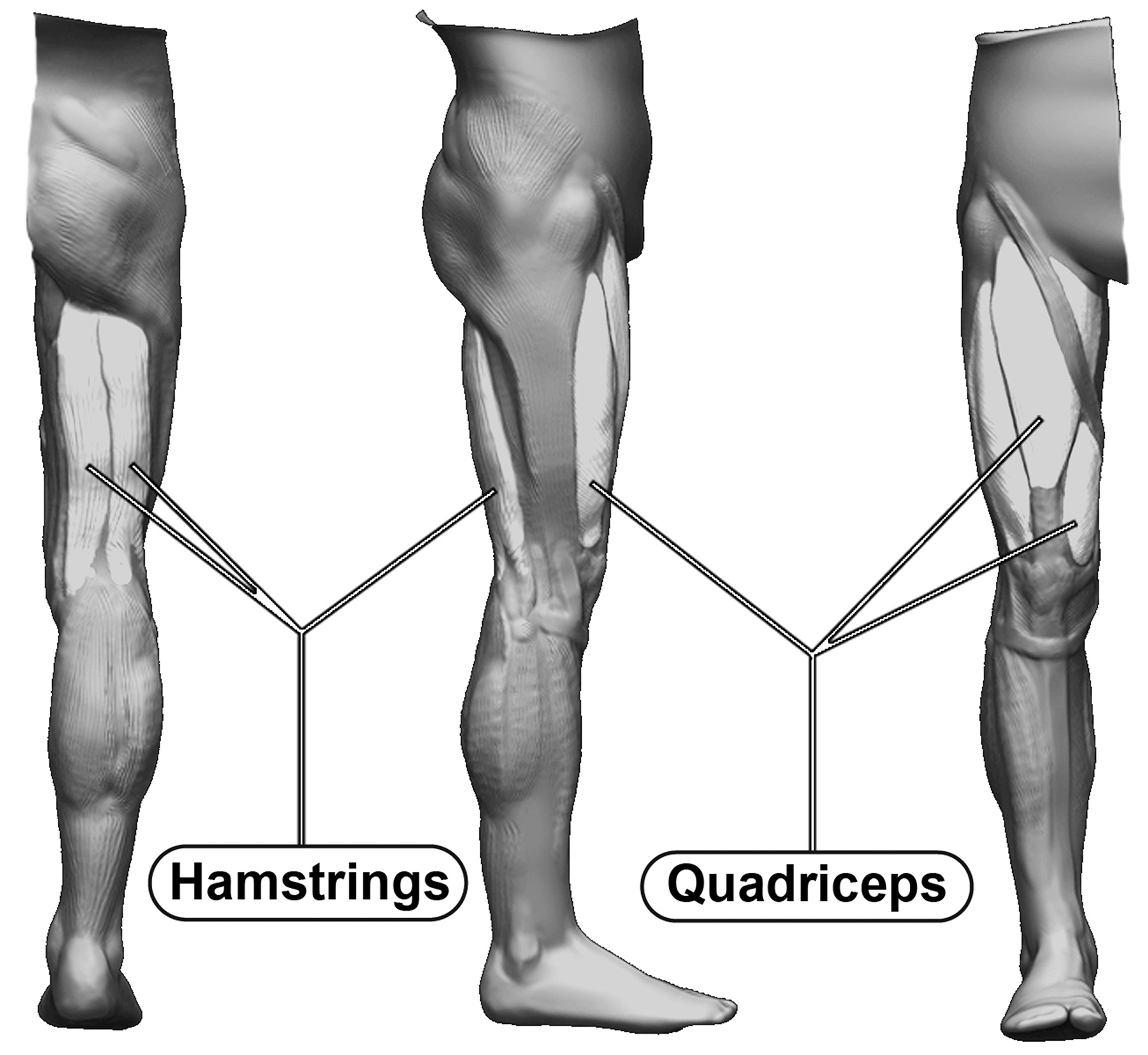 major muscle groups of the thigh – hip and knee handbook of joint, Muscles
