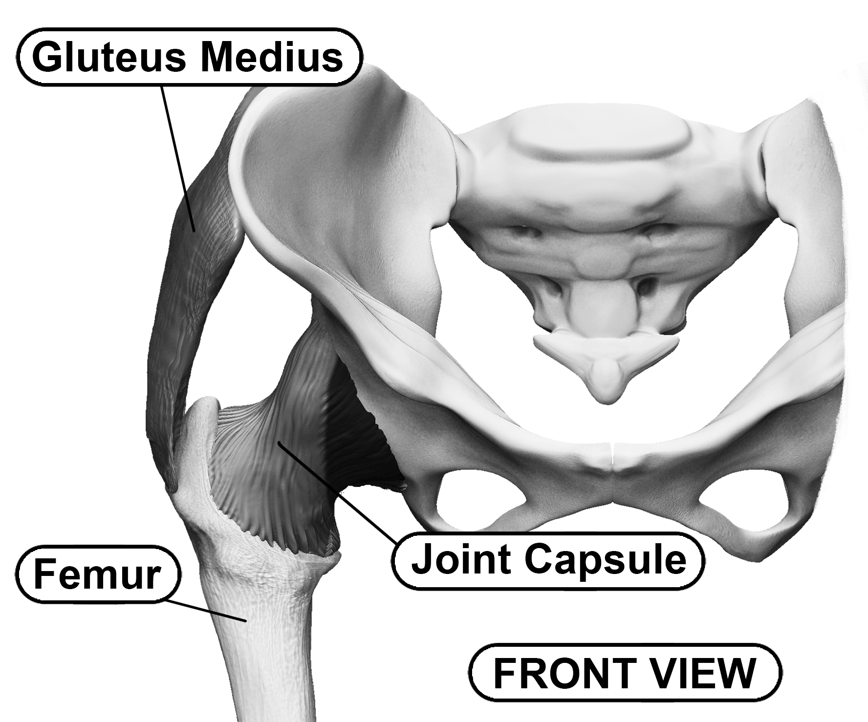 The Human Hip's Bony Anatomy